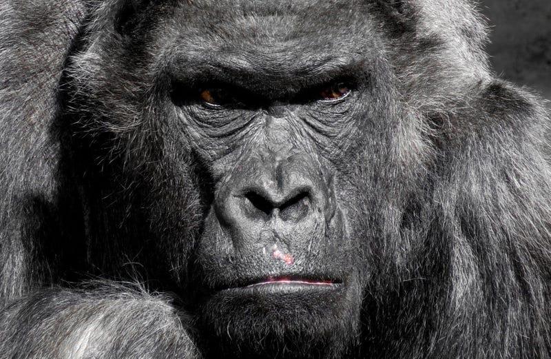 Illustration for article titled La IA de Google confunde fotos de gorilas con personas y la compañía prohíbe los gorilas para que no la acusen de racismo