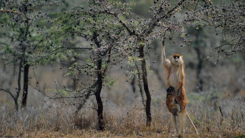 A patas monkey stands as it feeds from a whistling thorn acacia