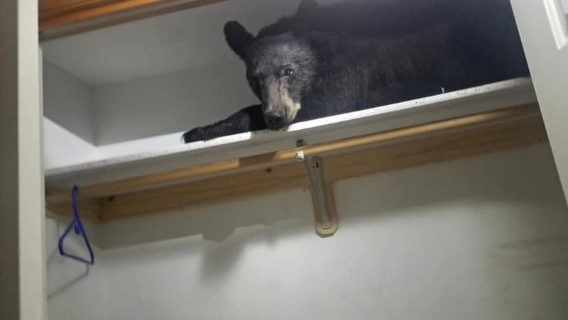 Illustration for article titled Bear Breaks Into Montana Home, Takes Nap On Shelf