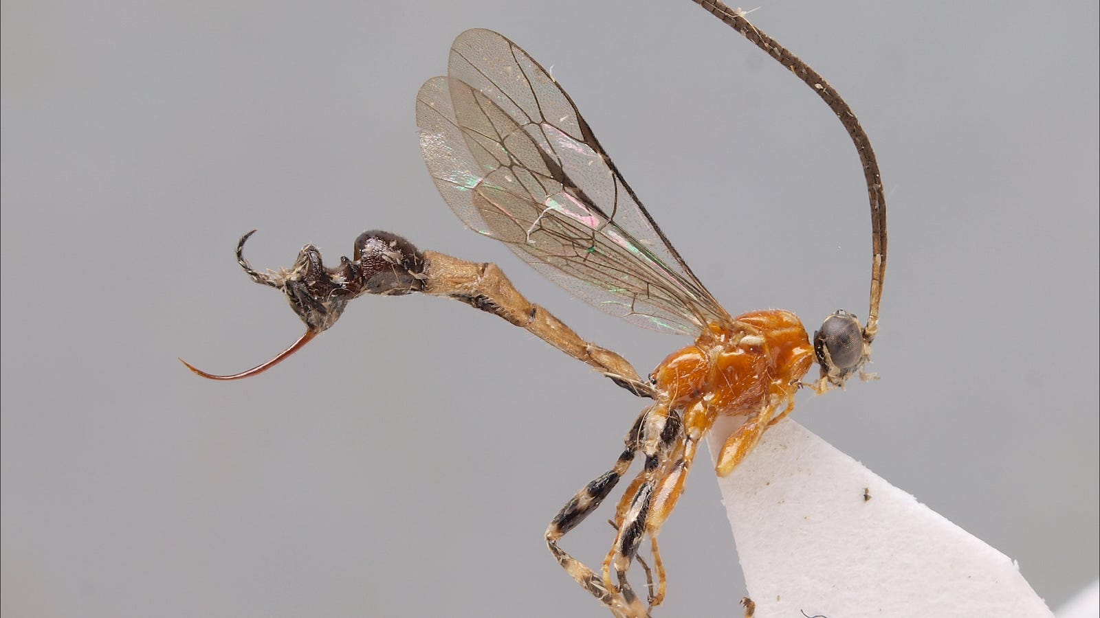 um this wasp species has an ant head for a