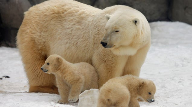 Russian Authorities Declare State of Emergency After  Mass Invasion  of Polar Bears in Remote Settlement