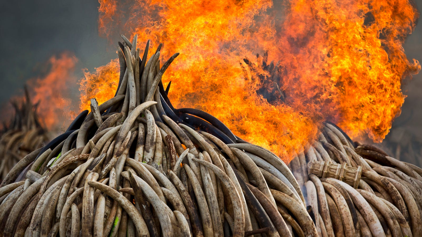 Today, Kenya Is Torching 5 Percent of the World's Stockpiled Ivory