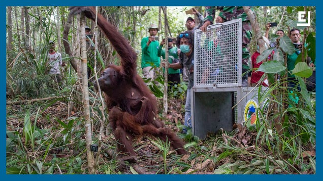Meet the Scientists Trying to Save Indonesia s Critically Endangered Orangutans