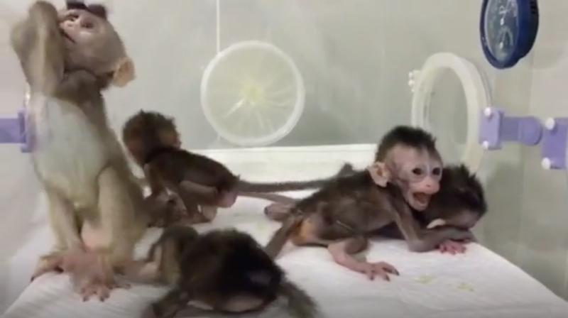 Los monos clonados en China