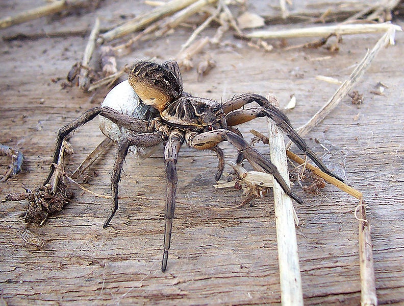 This Horrifying Spider Is The Only One That Carries Her