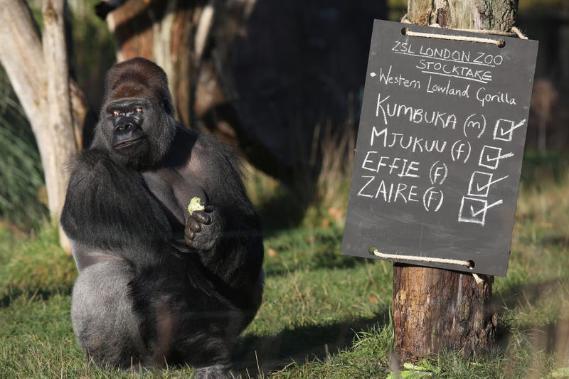 Kumbuka, a Western Lowland gorilla, at the London Zoo in 2014 (Image: Getty)