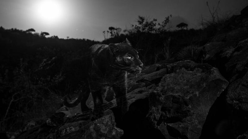 Illustration for article titled Capturan impresionantes imágenes del leopardo negro de África por primera vez en más de un siglo