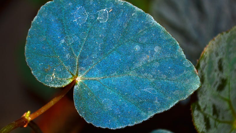 Peacock begonia's mysterious iridescent blue hue lets it thrive in the dark