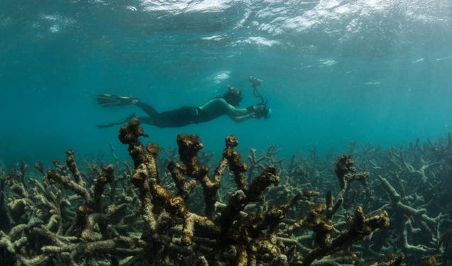 Dead coral around Lizard Island after the coral bleaching event on the Great Barrier Reef in May 2016. Image: XL Catlin Seaview Survey