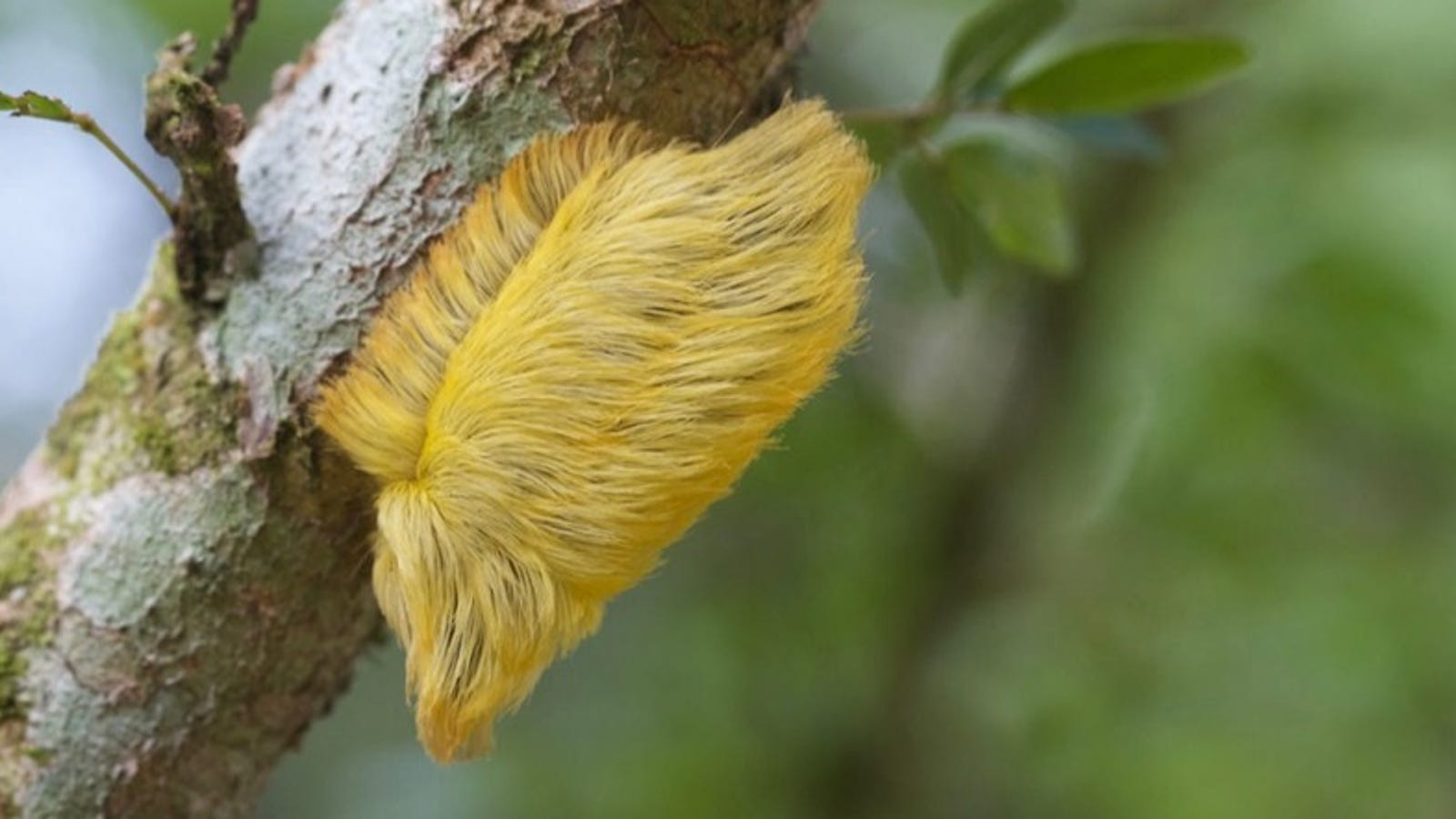 This Amazonian Caterpillar Sports Donald Trump's Hair