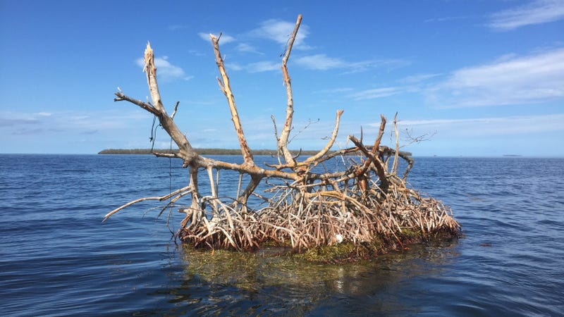 A battered 'mangrove island' spotted in Florida Bay after Hurricane Irma tore through. Image: Steve Davis