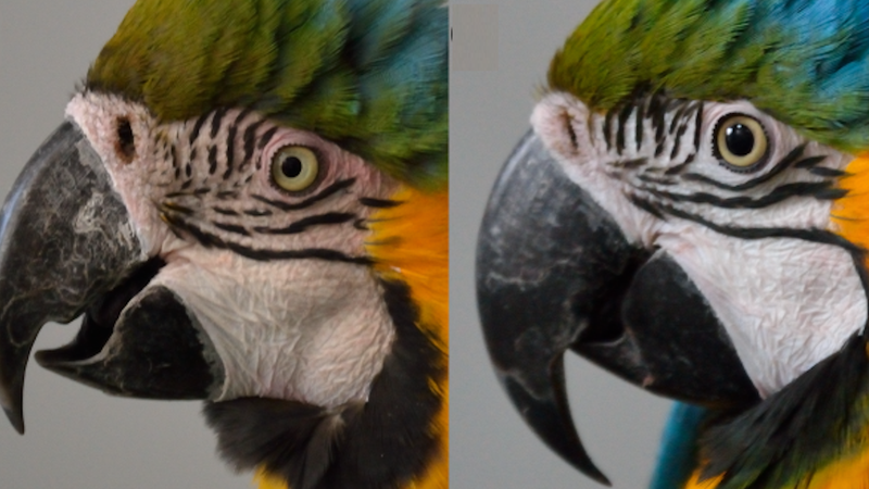 "A ""blushing"" macaw, left."