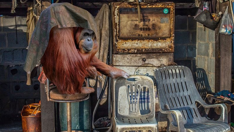 Illustration for article titled Modern-Day Mulan! Turns Out That Old, Sick Orangutan In The Garage Is A Lady Orangutan