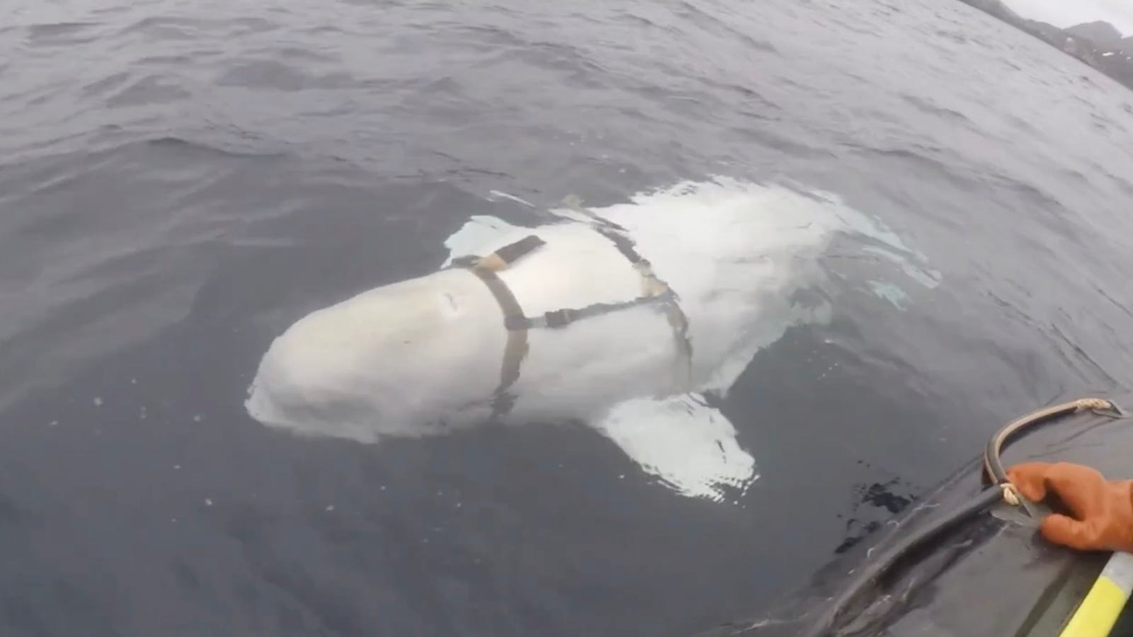 Norwegian Fishermen Discover Beluga Whale That Might Be Working with the Russian Navy