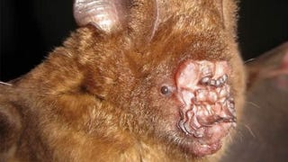 Illustration for article titled This Bat Has the Ugliest Face I've Ever Seen