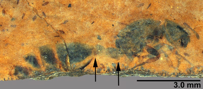 Illustration for article titled A Fossilized Ancient Ant Queen Emerges From a 46-Million-Year-Old Rock