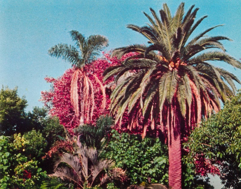 Illustration for article titled Disneyland Grew Around This 118-Year-Old Palm Tree