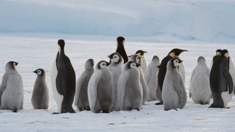 Illustration for article titled Colony of 9,000 penguins discovered in Antarctica
