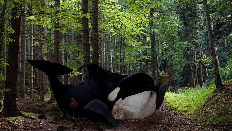 Illustration for article titled Crisis: An Orca That Escaped From SeaWorld Has Dragged Itself Over 600 Miles Along The Highway And Is Now Hiding Somewhere In The Woods