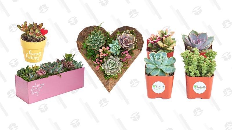 Succulent Gold Box | Amazon