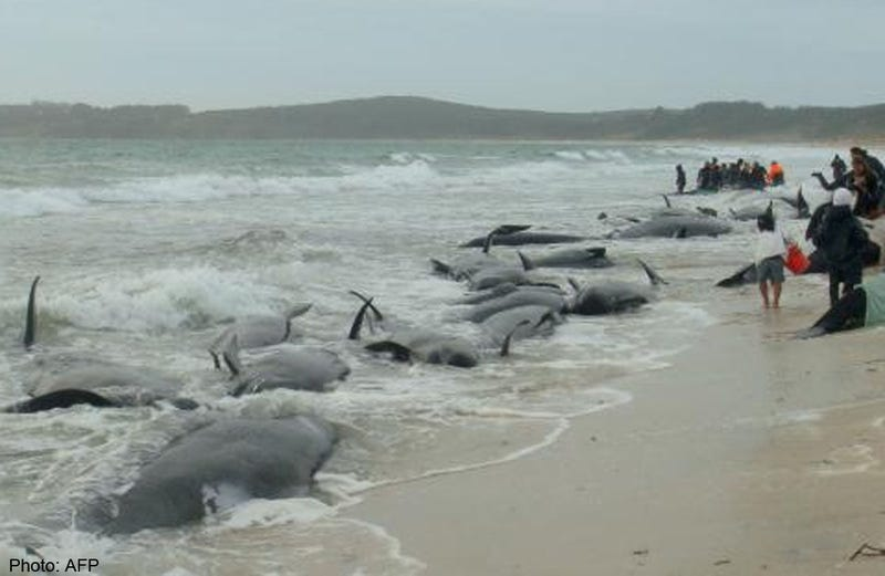 Illustration for article titled Nearly 200 Whales Are Stranded At New Zealand's Farewell Spit