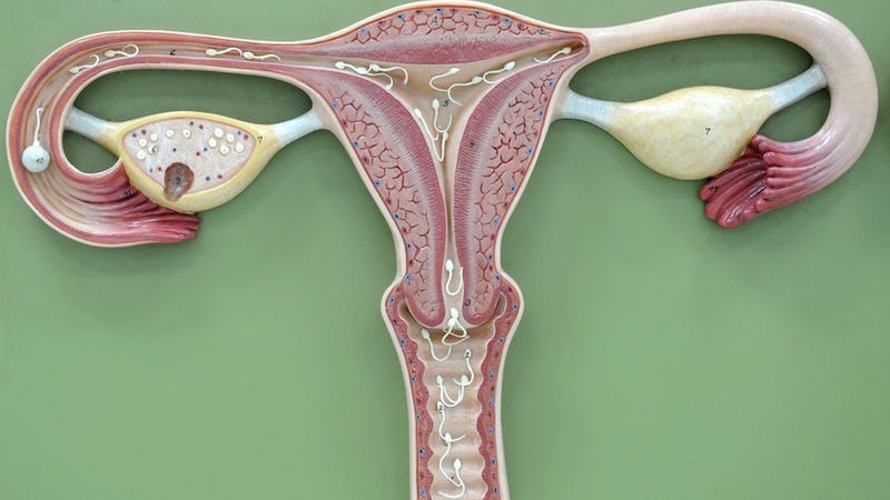 Illustration for article titled Scientists Find Golden Ratio in Your Uterus