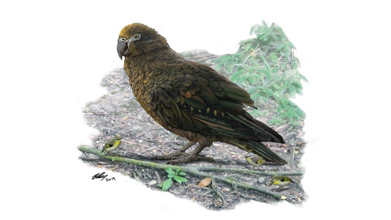 An artist's illustration of the giant parrot with a New Zealand wren for comparison.