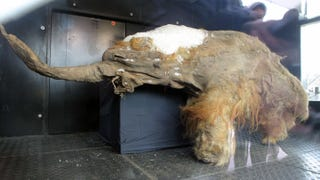 Illustration for article titled This Extraordinarily Well-Preserved Mammoth Is Now On Display In Moscow