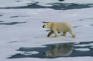 Illustration for article titled As Sea Ice Shrinks, Polar Bears Are Moving Farther North