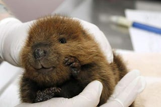 Illustration for article titled Baby Beavers