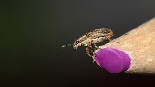 Illustration for article titled Freeze Grains to Avoid Weevils