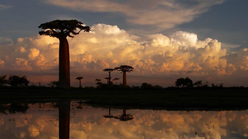 Allée des Baobabs near Morondava, Madagascar.