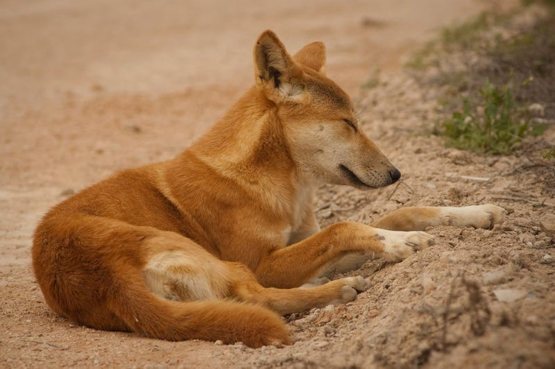 Illustration for article titled Is This Dingo Mother Mourning Her Dead Pup?