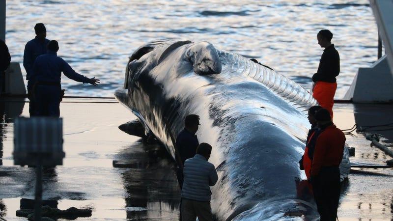 Illustration for article titled Por qué en Islandia se permite la matanza de docenas de ballenas en peligro de extinción