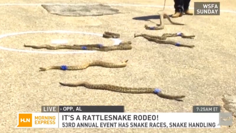 Illustration for article titled Rattlesnake Rodeo Sounds Like the Worst Thing Ever