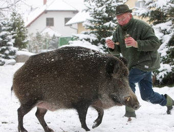 Illustration for article titled Germany Being Overrun By Radioactive Boars