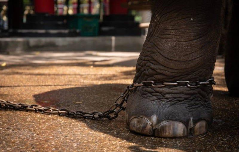Illustration for article titled Un bebé elefante de un zoo en Tailandia muere días después de ser forzado a bailar para grupos de turistas