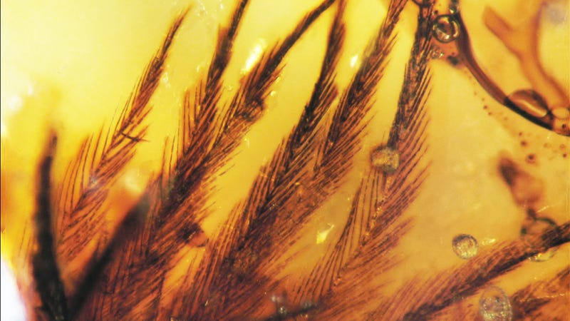 Illustration for article titled Dinosaur Feathers Discovered in Canadian Amber