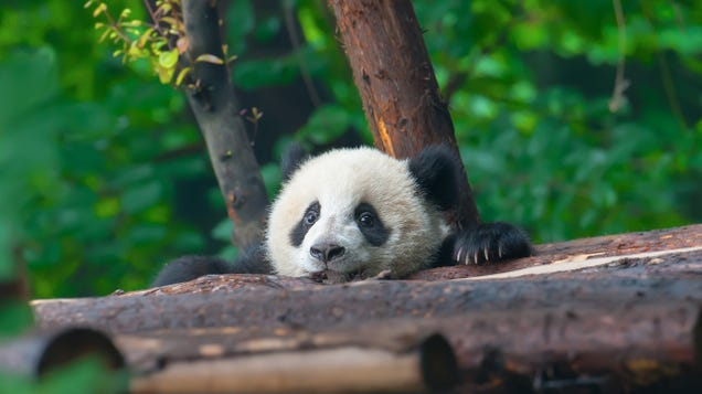 Help Name the Smithsonian National Zoo s New Baby Panda