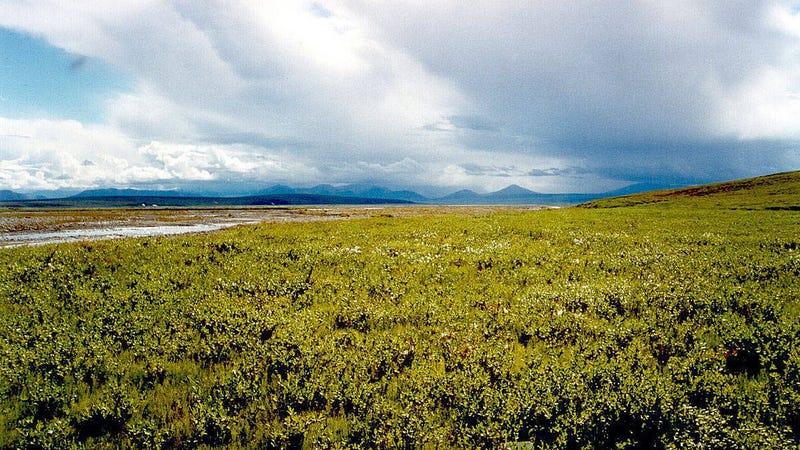 A tundra landscape near the peak of the summer growing season.