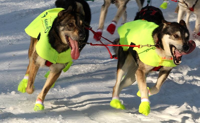 Illustration for article titled Will Alaska's Biggest Sled Dog Race Continue Without Snow?