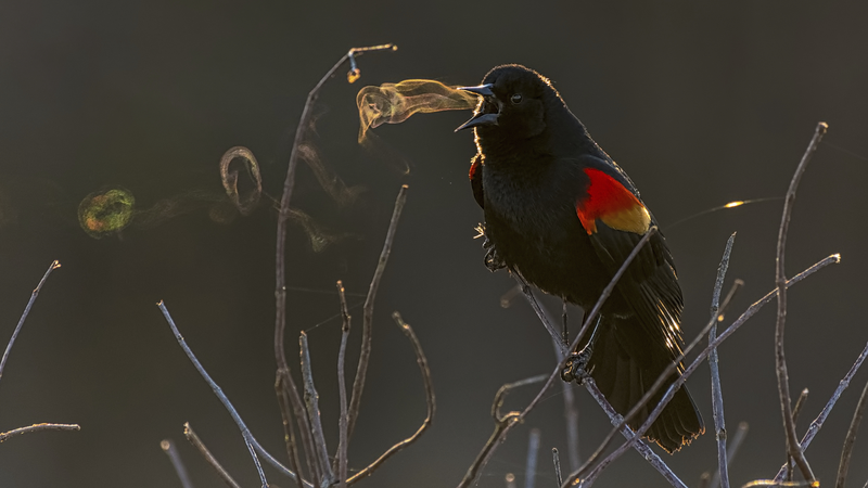 A Blackbird Blowing 'Smoke' Rings Wins Top Prize at the 2019 Audubon Photography Awards
