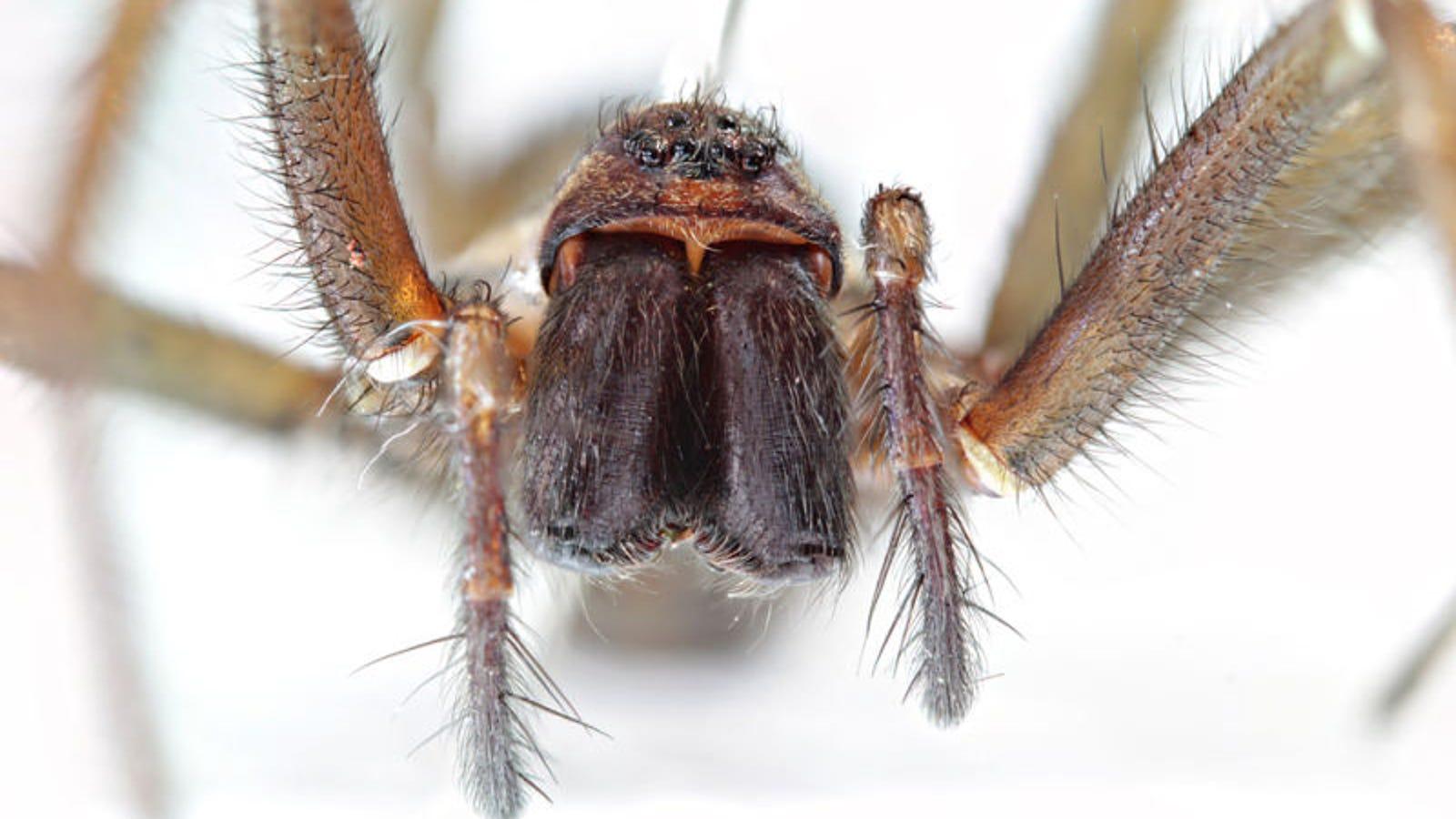 Hay tantas arañas en el mundo que solo necesitarían un año para comerse a todos los humanos