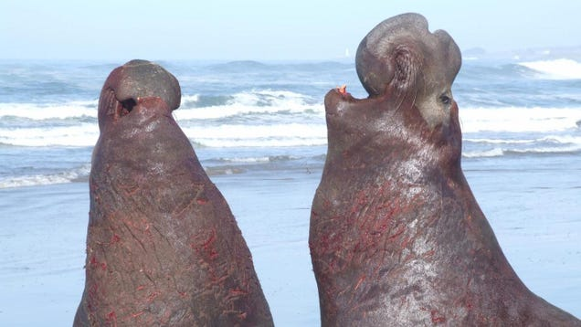 Elephant Seals Know When Their Opponents Are Talking Shit
