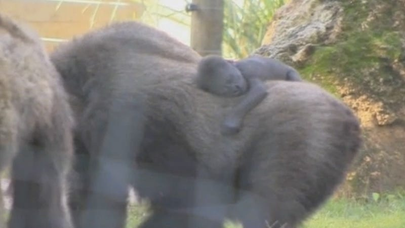 Illustration for article titled Here's a Video of Two Baby Gorillas. You're Welcome.