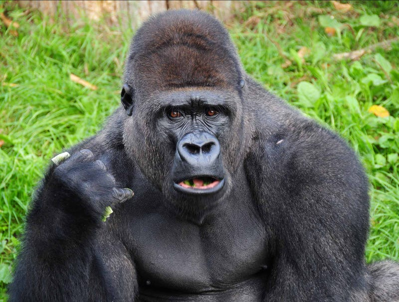 Illustration for article titled Gorilla Won't Stop Saying 'Gorilla' In Sign Language