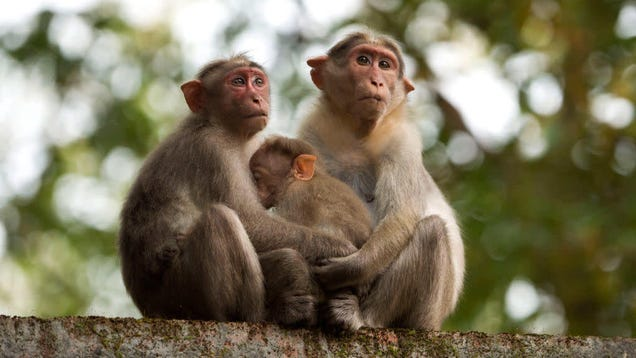 Monkeys in India Stole Covid-19 Blood Samples, Chewed on Them
