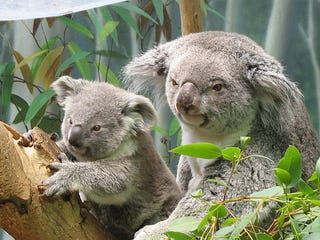 Illustration for article titled Ubuntu 9.10 Karmic Koala Out Now But Still Not As Fuzzy As a Real Koala