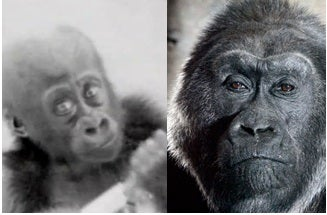 Illustration for article titled Go Back In Time With 1950s Footage of the First Gorilla Born at a Zoo