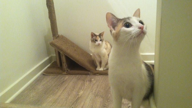 wood based clumping cat litter